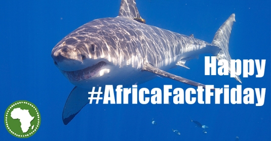 #africafactfriday (shark) banner