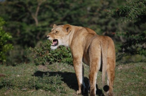 Naboisho : Oct 2014 growling lion